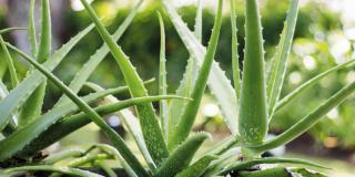 Realizzare due aiuole di piante grasse in cortile