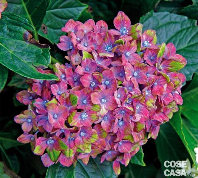 hydrangea saxon ortensia macrophylla
