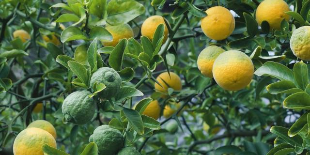 Arancio trifogliato per una recinzione impenetrabile