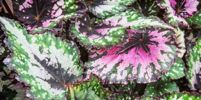 Piante da casa con le foglie variegate