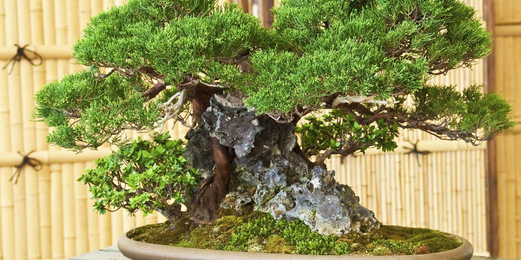 Cure al bonsai dopo le vacanze cose di casa - Cura dei bonsai in casa ...
