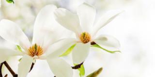 Quale magnolia in vaso sul terrazzo