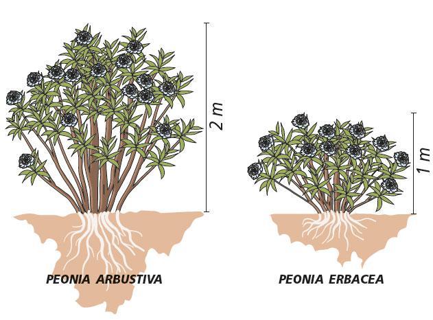 peonia-1