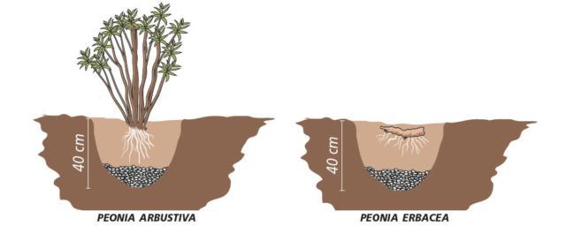 peonia-2