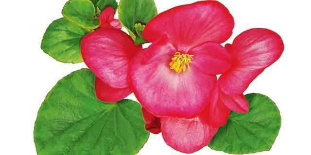 Moltiplicare le piante di geranio, begonia e violetta africana