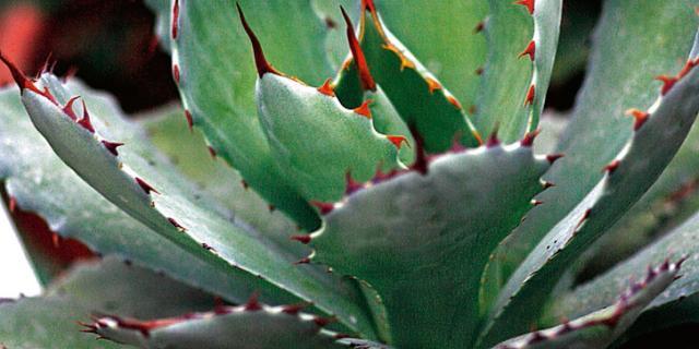 Agave macroacantha, agave verde