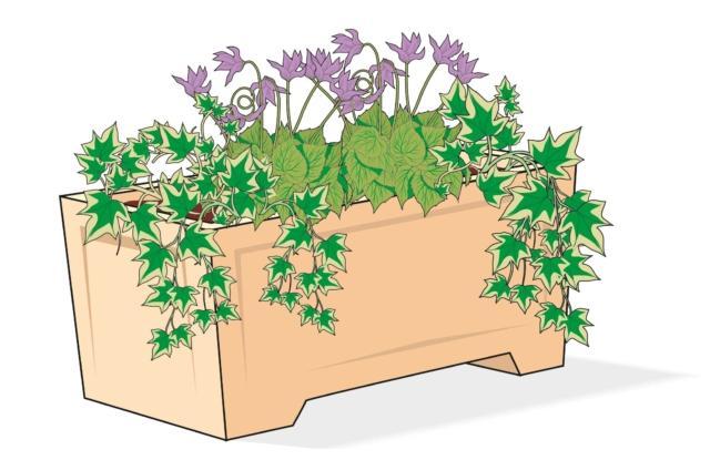 In un'unica cassetta fiorita lunga 40 cm è possibile alternare un ciclamino con due piantine di edera laterali. In alternativa si possono accostare più fioriere più piccole, lunghe 25 cm, contenenti ognuna un paio di piantine di edera o ciclamino.