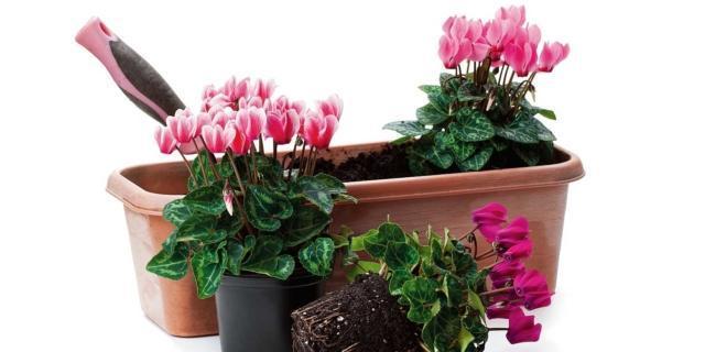 Sul balcone, la cassetta fiorita con edera e ciclamini
