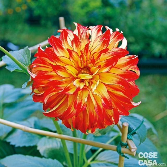'Lady Darlene' è una dalia decorativa di taglia elevata, 90-120 cm, che si fa apprezzare per la forma perfetta del fiore che contribuisce a porre in risalto la colorazione particolare. I petali gialli sono bordati di rosso e l'effetto è quello di un piccolo sole. I tuberi li trovate su: www.ingegnoli.it