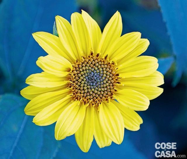 Helianthus Miss Mellish, più esattamente Helianthus x laetiflorus, è pianta ibrida erbacea perenne simile ad un topinambur nella forma della vegetazione ma capace di richiamare il girasole in quella del fiore. Le corolle sono di colore giallo arancio e iniziano ad aprirsi ad agosto per continuare fino ad ottobre. Porre sempre in pieno sole. Lo trovate su: www.vivaipriola.it