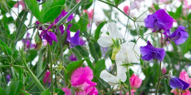 Seminare ora il pisello odoroso per i fiori della primavera