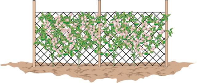 Le piante sono particolarmente adatte a creare barriere fiorite. Trapiantarle alla base di un grigliato metallico in modo che le piante possano arrampicarsi facilmente sulle maglie. In poco tempo le piantine di pisello odoroso saranno in grado di ricoprire recinzioni da utilizzare per mascherare visuali e pareti antiestetiche A fine stagione il grigliato può essere rimosso e le piante secche possono essere facilmente allontanate.