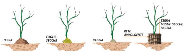 """1. Tra le protezioni contro il freddo più efficaci, c'è la """"rincalzatura"""", pratica che consiste nel ricoprire la zona bassa del fusto, in prossimità del punto d'innesto. Questa zona, chiamata """"colletto"""", è la più delicata e suscettibile al freddo. Per la rincalzatura si può utilizzare del semplice terriccio, ammucchiato a creare una montagnetta attorno alla base del tronco, oppure foglie secche o paglia, così da creare una sorta di coperta attorno alla zona del colletto proteggendo anche l'apparato radicale oltre alla porzione basale della pianta. Il mucchio di foglie o paglia o la terra utilizzate per la rincalzatura, possono essere tenute in posizione con una rete (in plastica, tela o fil di ferro), sistemata in modo da avvolgere il tronco."""