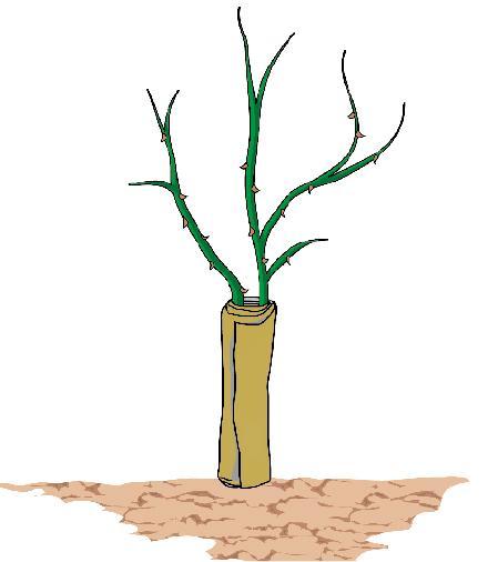 2. In alternativa, tra le protezioni contro il freddo, sono utili i  teli di juta (quelli, per intenderci, che si utilizzano per i sacchi di patate), da avvolgere attorno alla parte basale del tronco, fino all'inserzione dei primi rami. Il telo in juta offre il vantaggio di permettere il passaggio dell'umidità e dell'aria, senza soffocare la pianta.