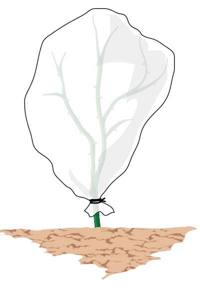 3. Solitamente è sufficiente proteggere la zona basale della pianta, quella più delicata e che necessita adeguate protezioni contro il freddo, tuttavia, in aree  dove sono previste temperature rigide con valori inferiori allo zero termico per periodi prolungati e gelate, è consigliabile proteggere la pianta con coperture più efficaci, quali i teli in tessuto-non-tessuto (tnt). Si tratta di teli di colore bianco in materiale poroso, che permettono il passaggio di aria e umidità e di far filtrare la luce.