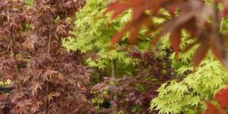 Il foliage degli aceri, anche in giardino