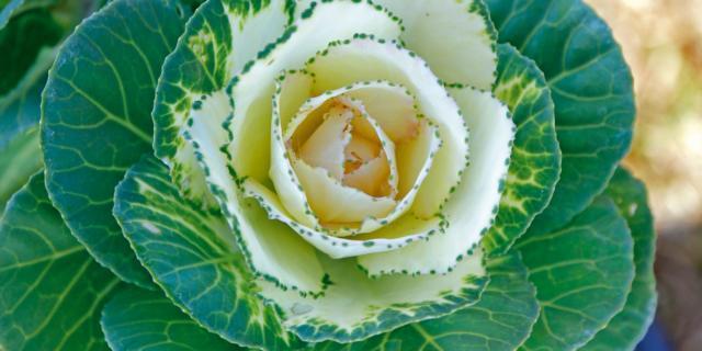 Brassica oleracea 'Crane White',  cavolo ornamentale