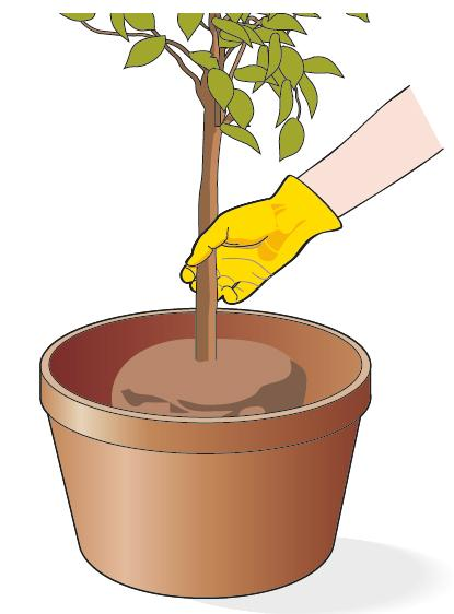 1. Disporre gli agrumi in vaso in modo che il colletto della pianta (zona di confine tra fusto e radice) si trovi a livello del terreno.
