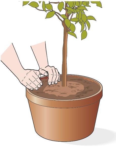 2. Agli agrumi in vaso, occorre aggiungere nuovo terriccio e comprimerlo con le mani intorno alla zolla.