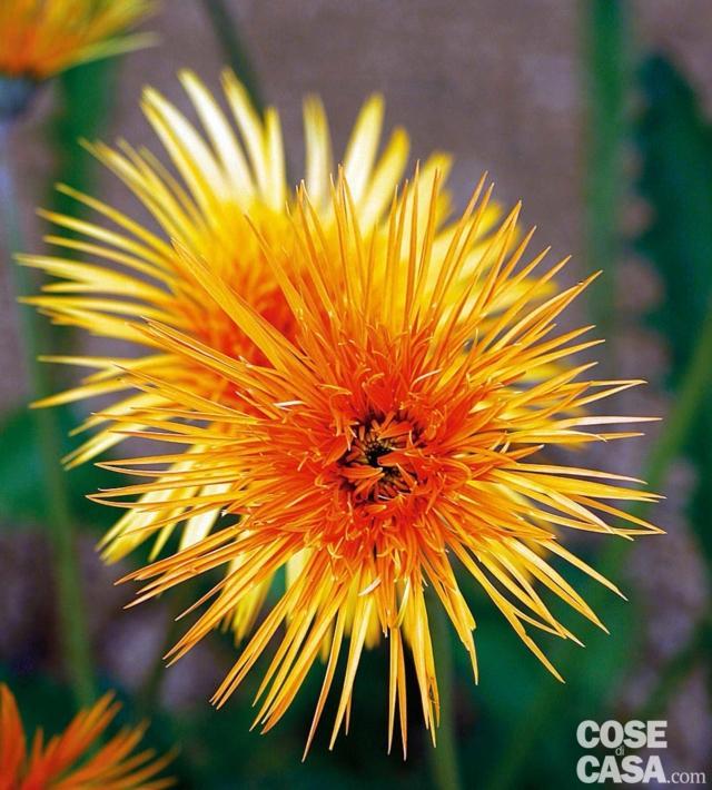 crisantemo-spider