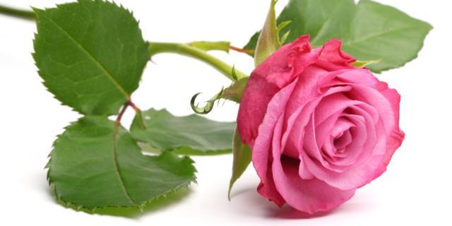 Mettere a dimora le rose a radice nuda