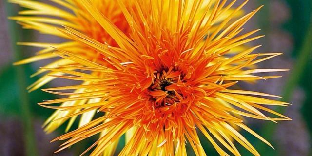 Chrysanthemum hybr. spider – crisantemo