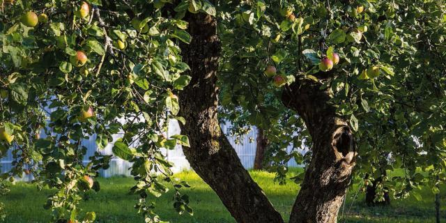 Mettere a dimora un albero da frutto