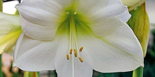 Hippeastrum 'Arctic White' – amarillis