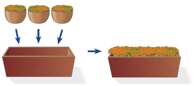 Per una fioriera di circa 60 cm di lunghezza sono sufficienti tre piantine di Nertera con bacche arancioni acquistate in vasetto di diametro 10-12 cm. Sul fondo della fioriera si metta uno strato di un paio di centimetri di argilla espansa, seguita da terriccio fertile. Si utilizzi un terriccio di tipo universale, ricco di humus e ben drenante. Una volta svasate e inserite nella fioriera le une accanto alle altre, si pressa bene ai bordi per far aderire il terriccio all'apparato radicale delle singole piantine, e si innaffia. Lo sviluppo della Nertera è abbastanza rapido e, nel giro di poche settimane (1-2 mesi), si allargherà ad occupare lo spazio a disposizione e riempire l'intera fioriera a creare un folto cuscino.