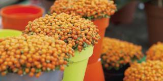 Bacche arancioni in balcone con la Nertera