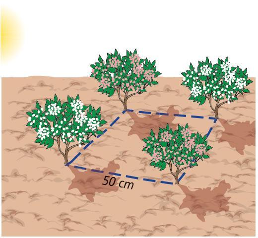 Le singole piante vanno messe a dimora rispettando una distanza d'impianto di almeno 50 cm l'una dall'altra, in modo da riempire lo spazio con lo sviluppo delle piante, che avviene, di regola, abbastanza in fretta.