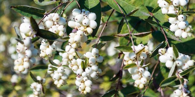 Il sinforicarpo, un arbusto con bacche bianche invernali
