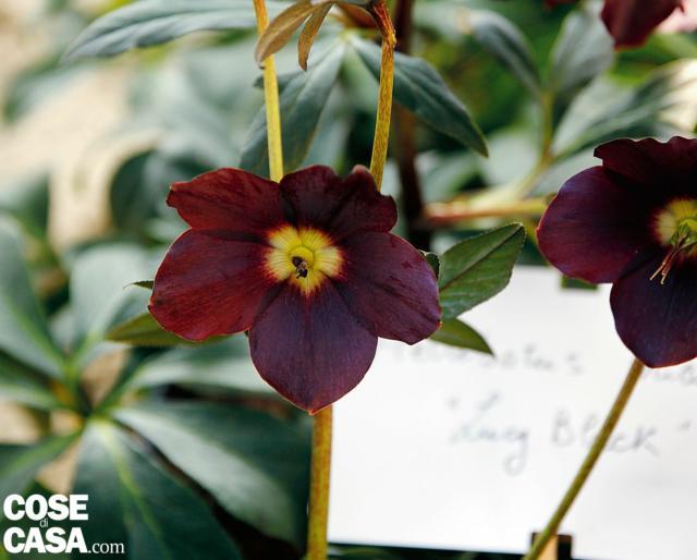 A fiore semplice, ma di grande fascino per il colore scuro, un vinaccia molto intenso da sembrare nero, H. orientalis 'Lucy black' può completare una piccola collezione di ellebori di forme e colori diversi.