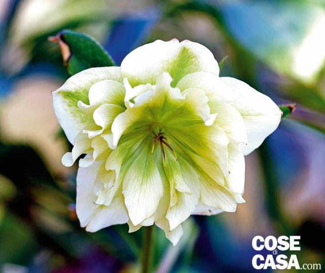 Di particolare fascino quelli a fiore doppio, con corolle ricche di moltissimi petali, in forma di morbido casco portate spesso reclinate. Si distinguono in base al colore e quelli bianchi, 'Double White', sono in grado di creare nel giardino vuoto un effetto di luce e colore di grande impatto.