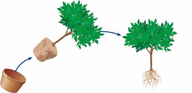 1. Come prima cosa si estrae la pianta dal vaso. Quest'operazione può risultare abbastanza faticosa; richiede forza e pazienza. Meglio eseguirla con la terra asciutta; in queste condizioni la terra si stacca più facilmente dal vaso. Una volta svasata la pianta, si ripulisce la zolla radicale dalla terra vecchia, inoltre è possibile ridurre l'apparato radicale se troppo sviluppato, spuntando le radici sul fondo.