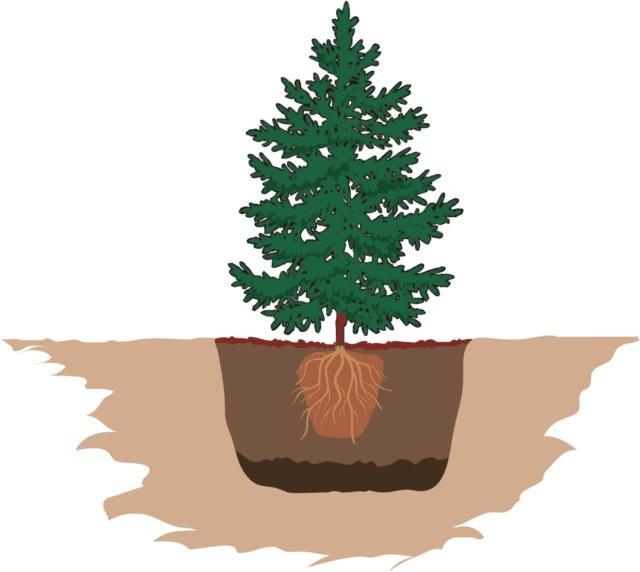 """Quindi sul fondo della buca è necessario disporre uno strato di 3-4 cm di terra nuova, oppure un miscuglio di terra nuova, parte della terra che è stata tolta scavando la buca, e una palettata di concime organico (letame).Un paio d'ore prima di procedere con questa operazione, è consigliabile immergere in un secchio con acqua l'apparato radicale dell'abete.Quindi lo si posiziona, ben dritto, al centro della buca.È molto importante che la pianta sia posizionata alla giusta altezza, o profondità; il colletto, cioè il punto di incontro tra fusto e apparato radicale, deve essere a livello della superficie, non troppo profondo, né troppo alto. Per aiutarsi in quest'operazione, si può utilizzare una bacchetta dritta da appoggiare in superficie sopra la buca: servirà come punto di riferimento al quale riferirsi per vedere la giusta altezza della zona del colletto.Infine si colma la buca con la terra rimanente, mischiata a terriccio nuovo. La terra va ben pressata, con i piedi, in modo tale da facilitare l'assestamento della pianta nel suo nuovo alloggio. Per lo stesso motivo si innaffia abbondantemente la terra.In superficie si può distribuire uno strato di """"bark"""", ovvero frammenti di corteccia; servirà come materiale pacciamante, a mantenere la giusta umidità della terra sottostante."""