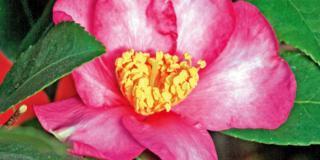Camellia sasanqua 'Cleopatra' – camelia