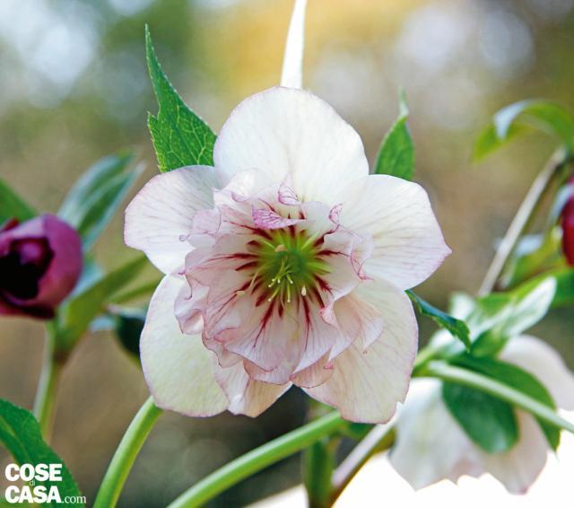 Stesso effetto, impreziosito dai toni rosa più intensi sulla bordatura dei petali, si ottiene con 'Double Picoteé'.