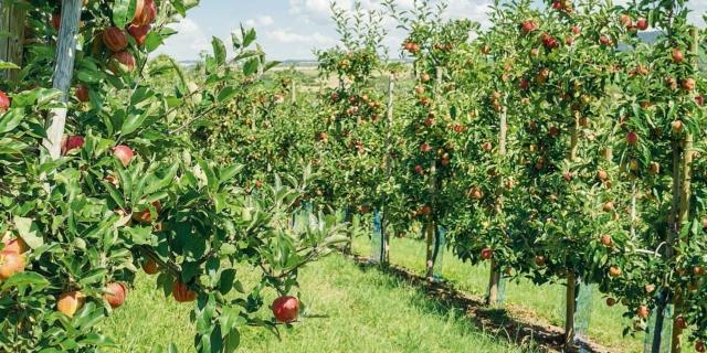 I trattamenti per proteggere gli alberi da frutto