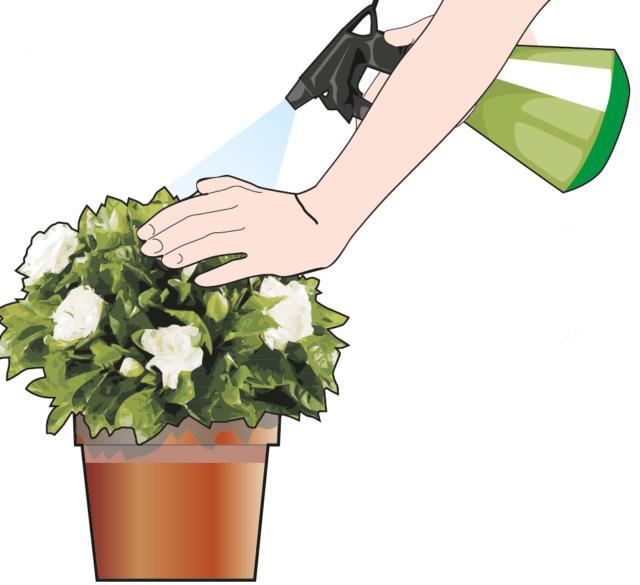 Si nebulizzi la chioma spesso con acqua assolutamente non calcarea avendo cura, durante l'irrorazione, di proteggere i fiori.