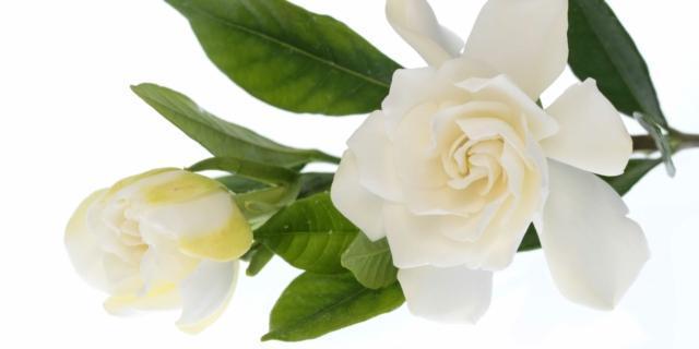 Gardenia fiorita in vaso, le cure necessarie