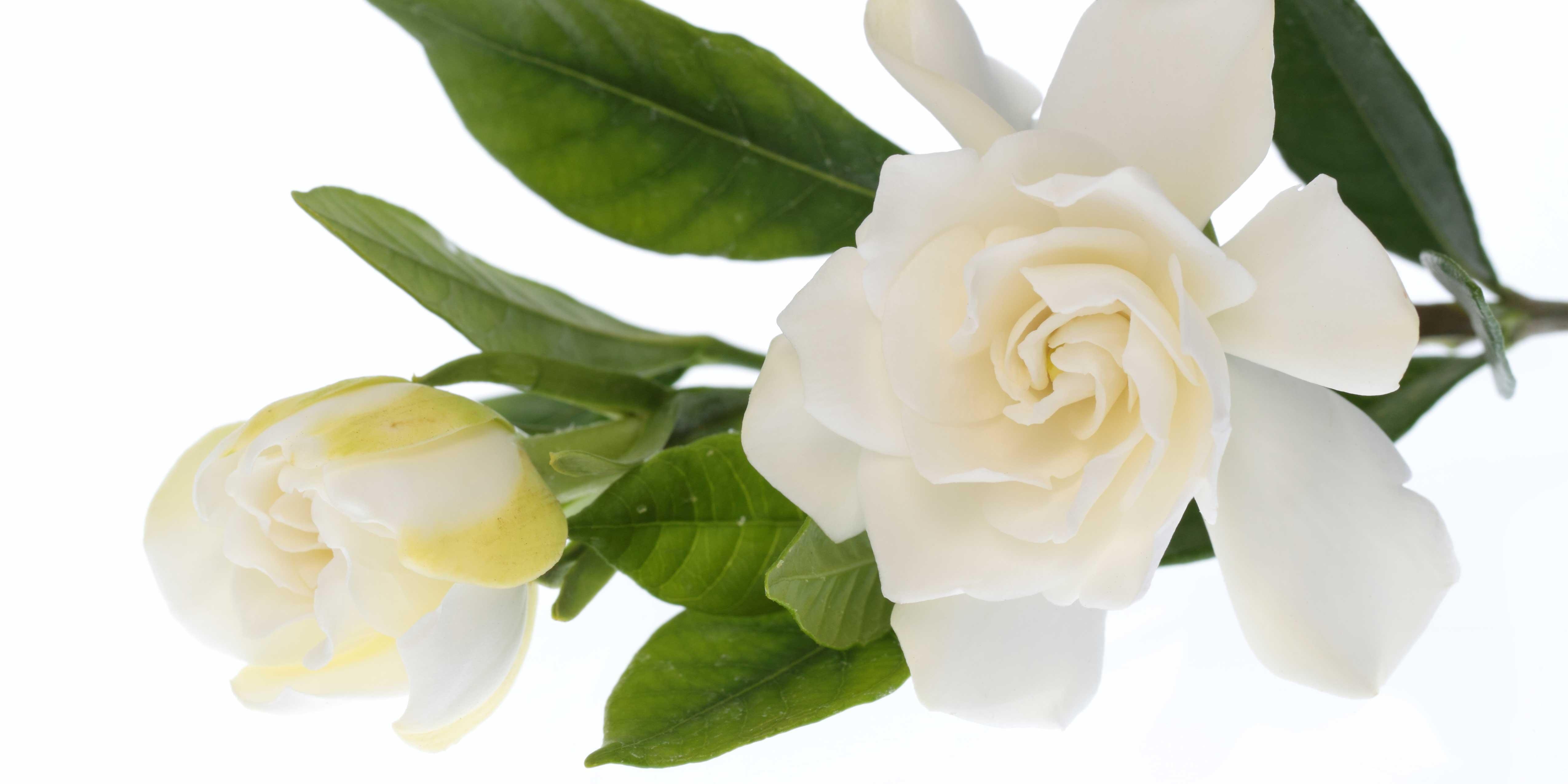 Rosa Secca Cosa Fare gardenia fiorita in vaso, le cure necessarie - cose di casa