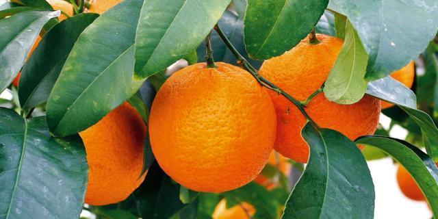 Citrus volkameriana – limone volkmeriano