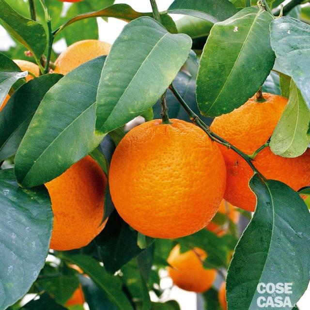 limone-volkeriano-gennaio