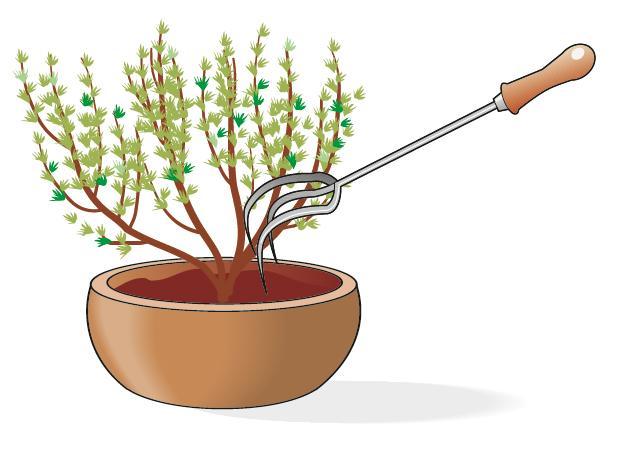 Bisogna fare attenzione a smuovere di tanto in tanto la terra nel vaso con un sarchietto per allontanare eventuali insetti in cerca di riparo, e tenere il terreno asciutto.