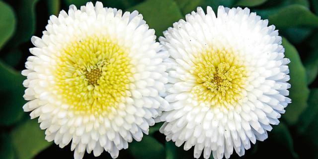 Bellis perennis – pratolina a fiori doppi