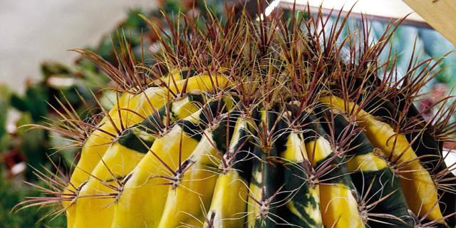 Ferocactus variegato