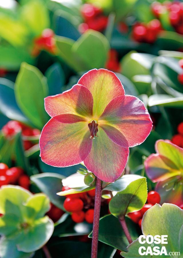 'Anna's red' fiorisce da febbraio ad aprile. I fiori emergono come boccioli viola-rossi e virano al fucsia-magenta quando si aprono, sfioriti sono ugualmente belli diventano neri-violacei. In trasparenza il fiore regala sovrapposizioni di colori che sembrano essere frutto di un accurato lavoro di design.