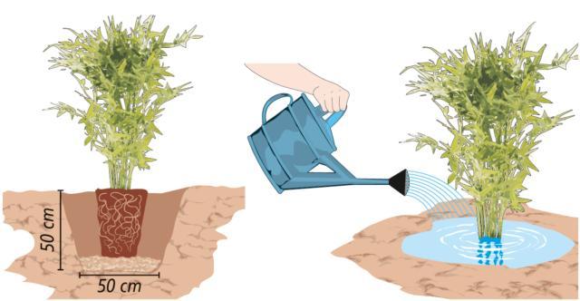 Si scava una buca profonda circa 50 cm e larga altrettanto. Sul fondo si dispone uno strato di terra ricca di humus, mista a concime organico (per esempio letame, anche in pellet; una manciata è sufficiente). Quindi si svasa la pianta e la si appoggia entro la buca: attenzione a far sì che sia posta alla giusta altezza, ovvero che la zona del colletto delle canne (ovvero il punto di incontro tra fusto e radici) sia appena al di sotto (1 cm al massimo) del livello della superficie del terreno. Infine si colma la buca con la terra, premendo bene ai bordi, a creare una sorta di conca, necessaria ad accogliere l'acqua. Subito dopo la messa a dimora, infatti, è necessario bagnare abbondantemente il bambù, che ama molto l'umidità.