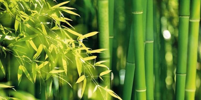 Piantare e curare il bambù